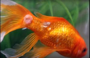 Goldfish Diseases and Treatment | Fungus
