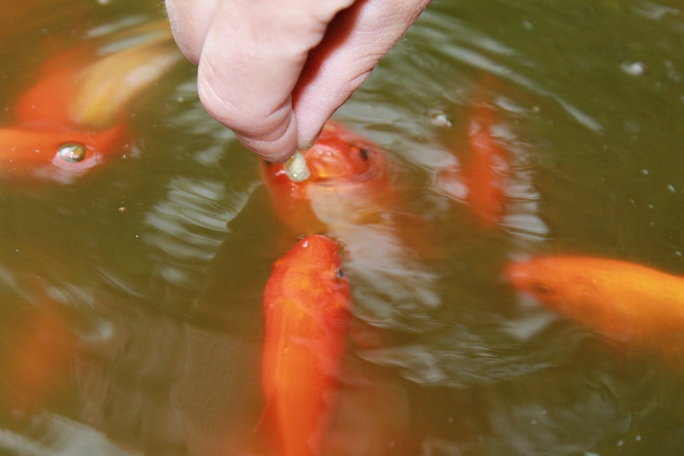 Goldfish Care
