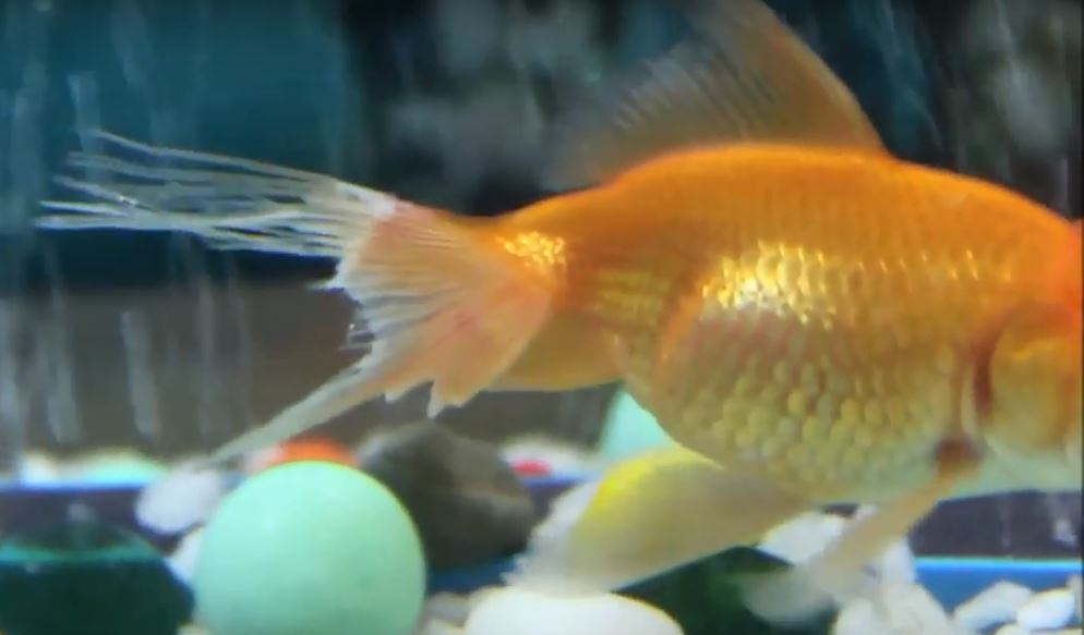 Goldfish Diseases and Treatment | fin rot tail rot