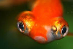 Goldfish Diseases and Treatment