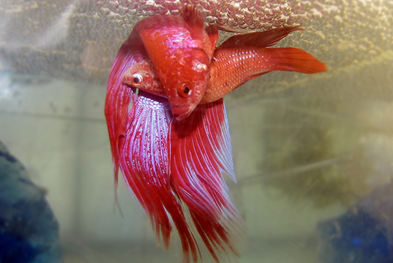 Breed Betta Fish
