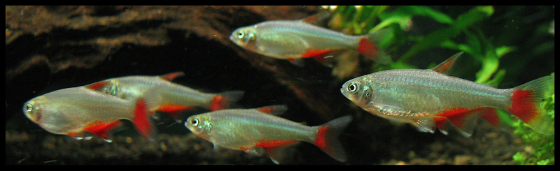 Types of Tetra Fish